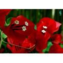 Graines de Kalanchoé à fleurs en thyrse