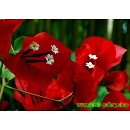 Trillingblomssläktet Violett och Rött Fröer (Bougainvillea)