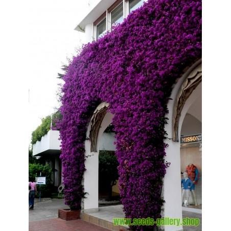 Sementes de Flores Bougainvillea misturar Violeta e Vermelho