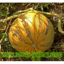 Oilseed Pumpkin - Naked Seeded Pumpkin Seeds