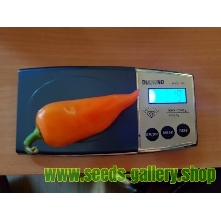 Orange Pyramide Chili Samen (Capsicum annuum)