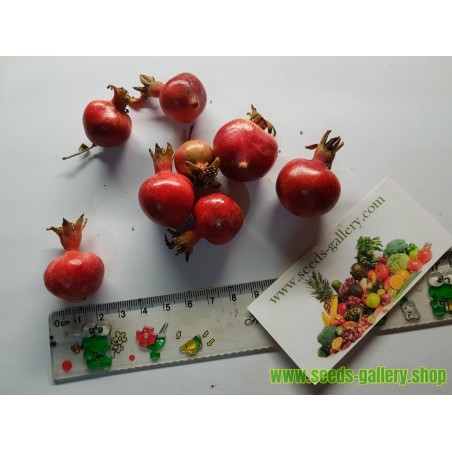 Semi Cranberry americano (Vaccinium macrocarpon)