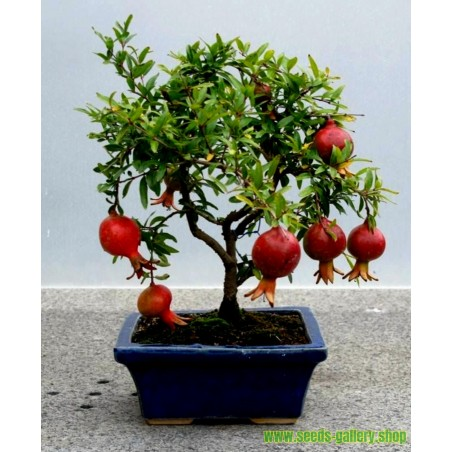 Dwarf Pomegranate Seeds (Punica granatum Nana)