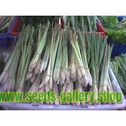 Semillas de pasto de Limón (Cymbopogon citratus)