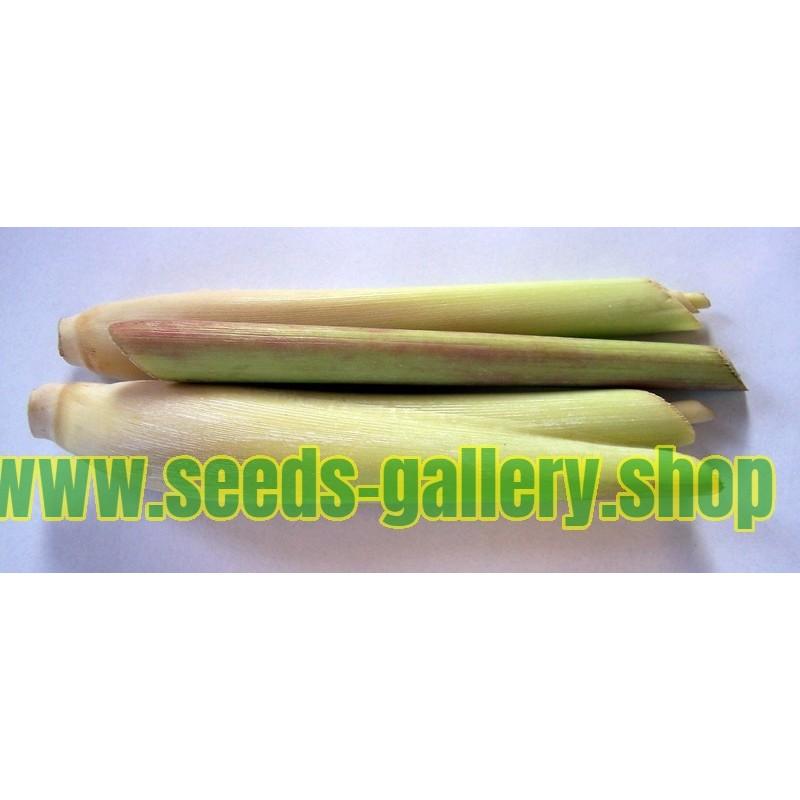 Ziziphus jujube Seeds