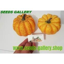 FESTIVAL Squash Seeds