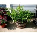 Spargla Seme - Asparagus officinalis ''Mary Washington''