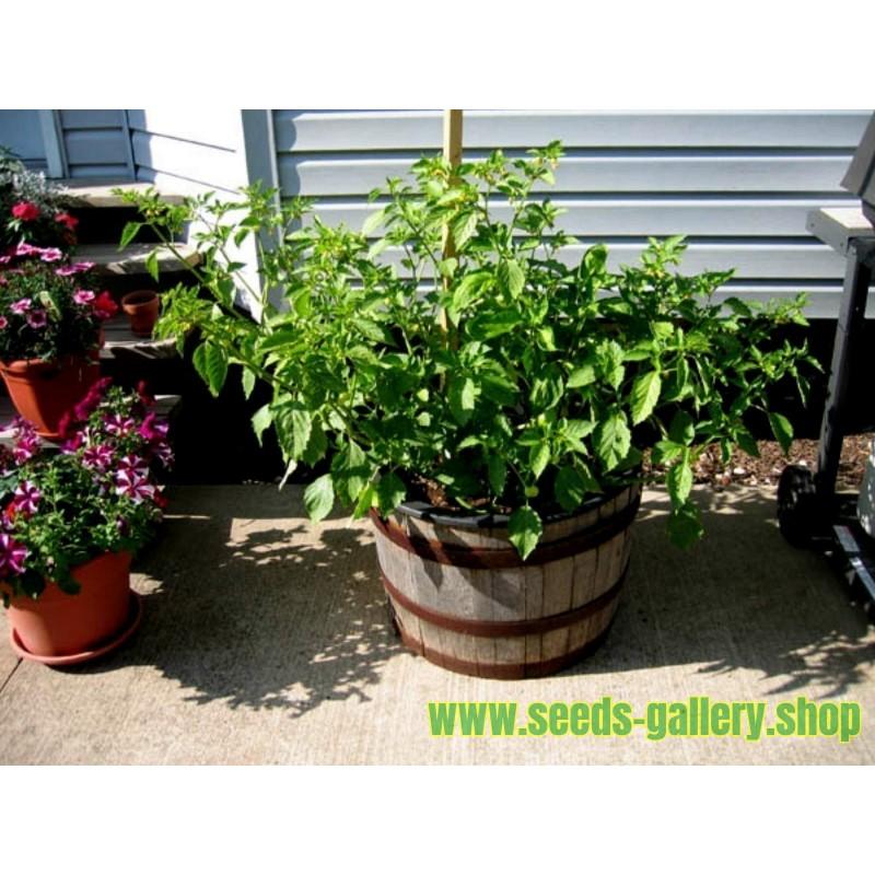 Σπαράγγια σπόροι ''Mary Washington''