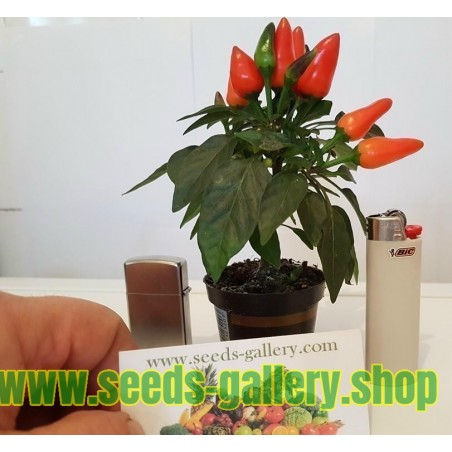 Ornamental Hot Mini Chili Seeds - Multicolour