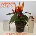 Ornamental Hot Mini Chili Seeds - Multicolour