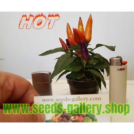 Graines de Ornementales Hot Mini Piment - multicolore