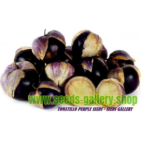 Σπόροι Tomatillo Physalis philadelphica Purple