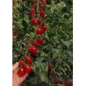 Semi di MELA DEI CANGURI - Kangaroo Apple (Solanum laciniatum)