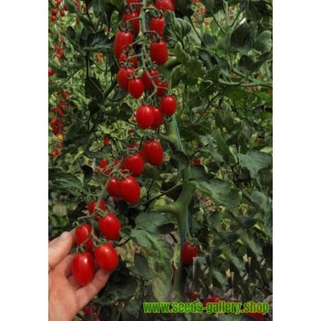Kangaroo Apple - Poroporo Seeds (Solanum laciniatum)
