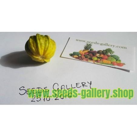 Yellow Round Squash - Zucchini Seeds