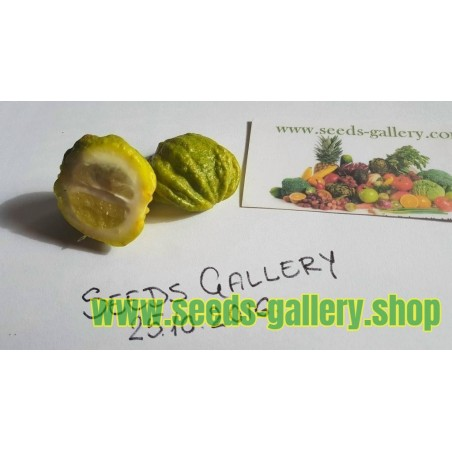 Goji Beere Samen (Lycium barbarum)