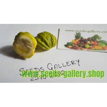 Semillas de KIKU-DAIDAI naranja (Citrus canaliculata)