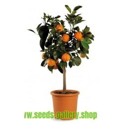 Graines de KIKU-DAIDAI Orange (Citrus Canaliculata)