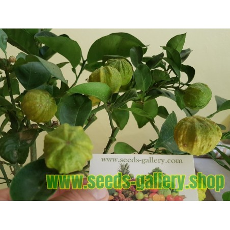 KIKU-DAIDAI Pomorandza Seme (Citrus canaliculata)