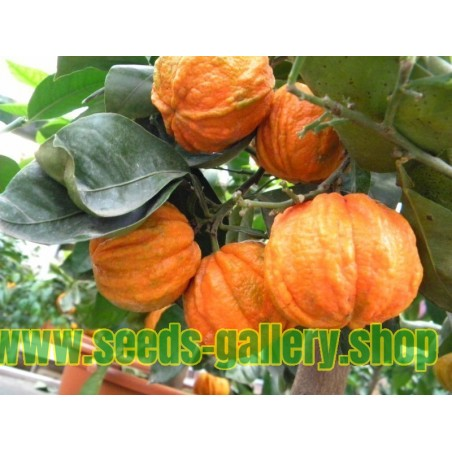 Sementes De Ugni Molinae - Chilean Cranberry