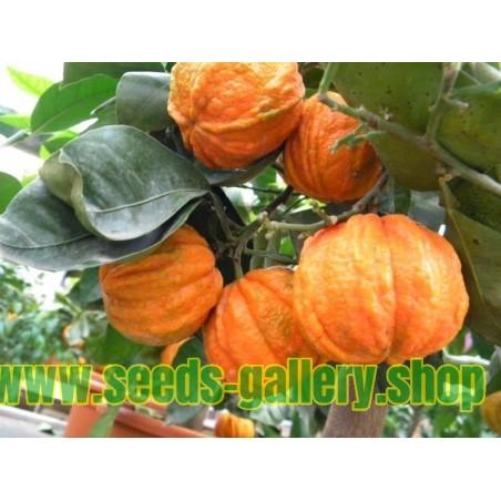 Semi di KIKU-DAIDAI Arancio (Citrus canaliculata)