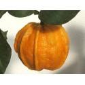 Lulo Samen Naranjilla (Solanum quitoense) exotisch lecker süß
