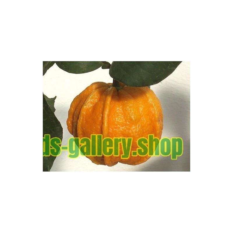 Graines de Narangille (Solanum quitoense Lamarck)