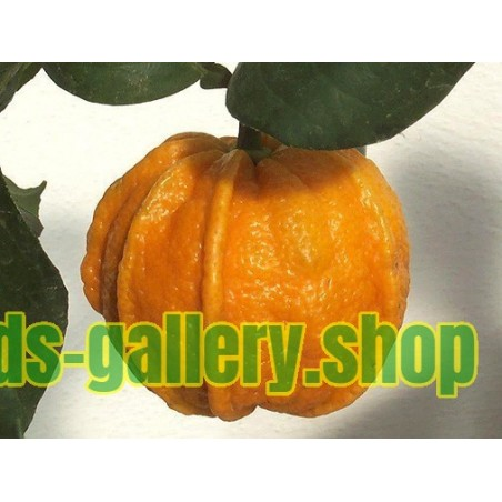 KIKU-DAIDAI - Pomeranze Samen Citrus aurantium ´CANALICULATA´