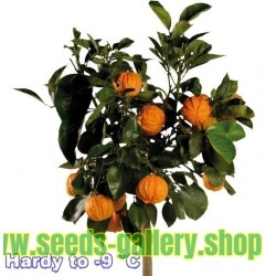 Graines de KIKU-DAIDAI Orange (Citrus Canaliculata)