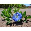 Japansk Mispel Frön (Eriobotrya japonica)