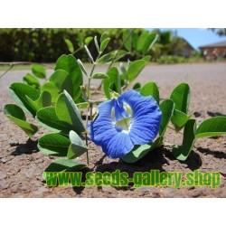 Blaue Schmetterlingserbse Samen (Clitoria ternatea)