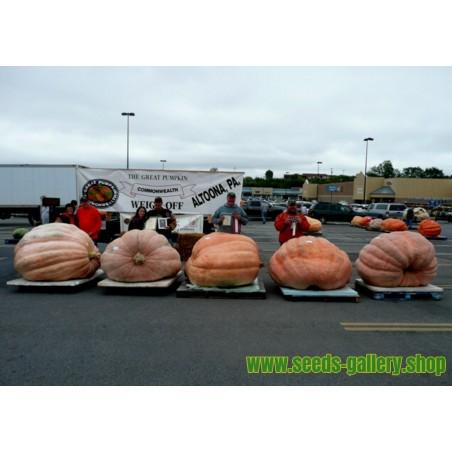 Frön Giant Lök The Kelsae upp till 4kg