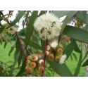 Brazilian Grapetree or Jabuticaba Seed