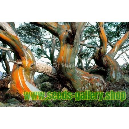 Snow Gum Eucalyptus Seeds - Hardy −23 °C
