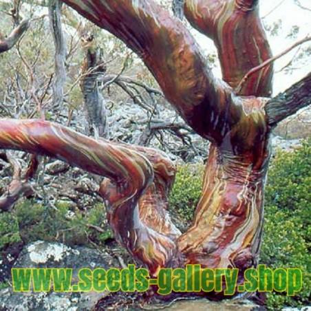 Snezni Eukaliptus Seme - Otporan Na Mraz - 23 °C