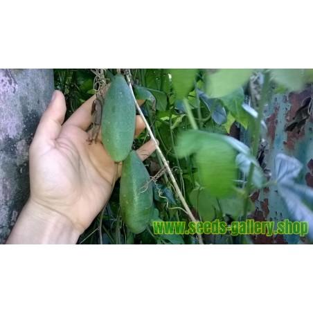 Banana Passionfruit Seeds - Curuba