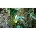 Semillas de Curuba, Taxo, Tumbo