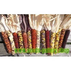 Graines de Maïs Amérindiens