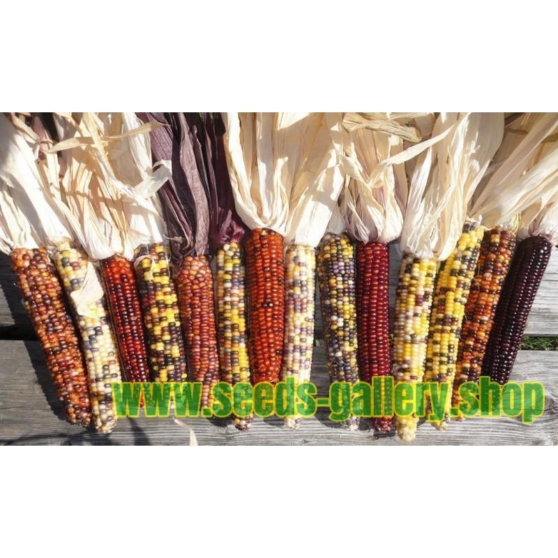 Sementes de Milho Indiano Ornamental Colorido
