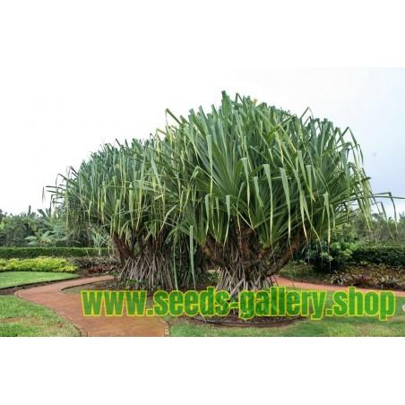 Graines de Kiwi Géant