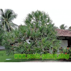 Schraubenbaum Samen (Pandanus tectorius)