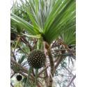 Tahitian Screwpine Seeds (Pandanus tectorius)