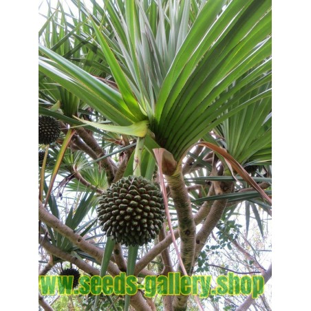 Sementes de Fruto da árvore Halla