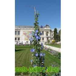 Himmelblaue Prunkwinde Samen (Ipomoea tricolor)