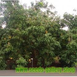 Canistel Samen (Pouteria campechiana)