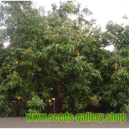 Graines de Canistel ou Sapote Jaune - Fruits Tropicaux