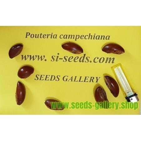 Σπόροι Φρούτα αυγών, Canistel, η κίτρινη Sapote