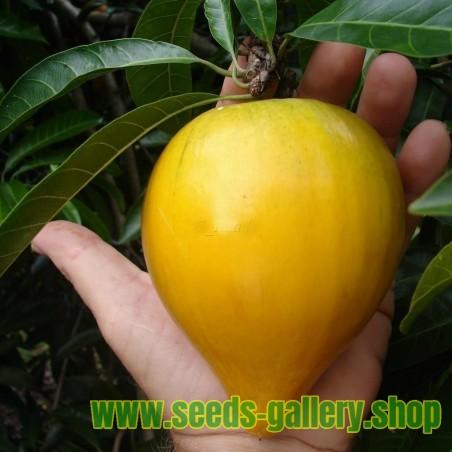 Canistel Seeds (Pouteria campechiana)