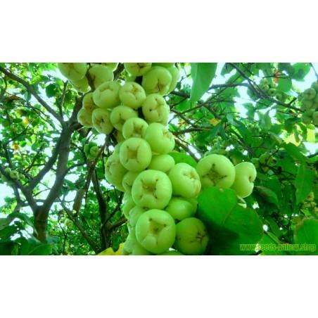 Java Apple Seeds, Rose Apple, Wax Jambu