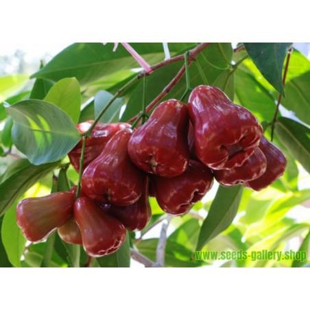 Javaäpple Frön (Syzygium samarangense)